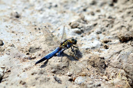 blue dragonfly sitting in sandy landscape in summertime Stock Photo