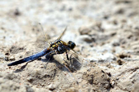 substrate: blue dragonfly sitting in sandy landscape in summertime Stock Photo