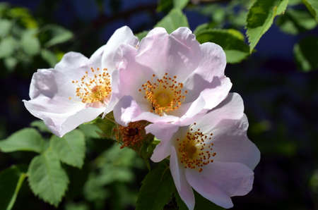 rose bush: Rose bush with lots of pink roses in bloom at summertime Stock Photo
