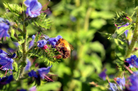 bumblebee pollinates a blue weed plant in summer