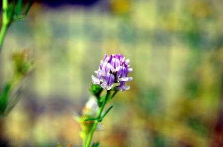 purple sensation flowers closeup in the garden