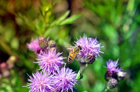 pollinators: Bee on pink thistle flowers pollinating in summer Stock Photo