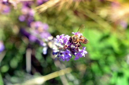 apis: honey bee on lavender flower pollinating in summer