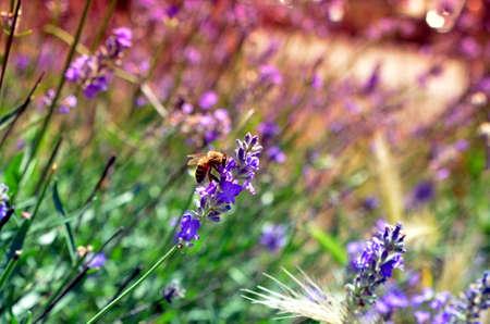 honey bee on lavender flower pollinating in summer