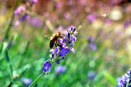 mellifera: honey bee on lavender flower pollinating in summer