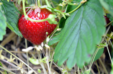 fresh red strawberrys grown on a field Stock Photo