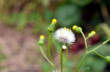 closeup white blowball dandelion flower and blossoms