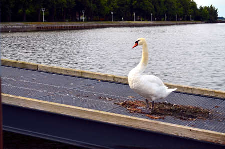 twee: mature white swan swimming in baltic sea