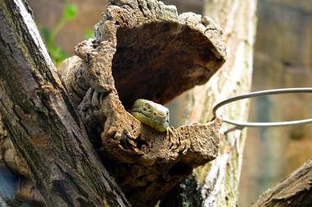 lizard sitting in dry landscape on a tree Stock Photo