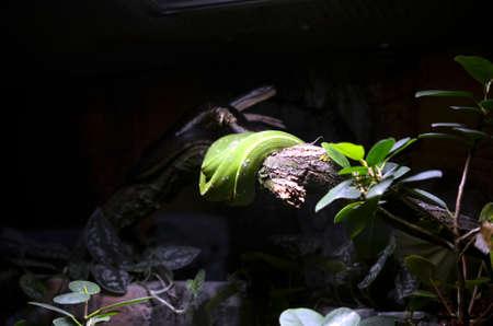 black boa: green snake wraped around a tree branch Stock Photo