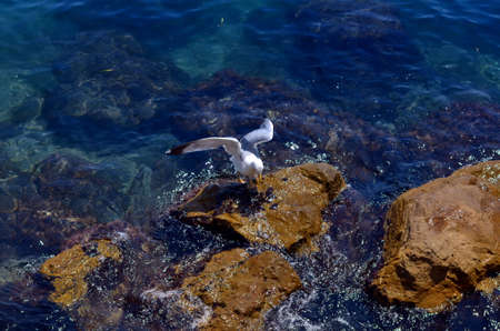 white headed: white seagull sitting a the blue coast of sea