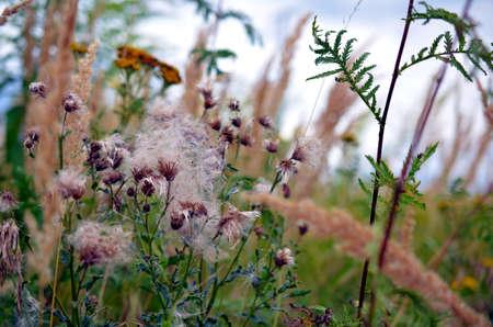 highlander: flores silvestres y cardos descoloridas en un prado en verano