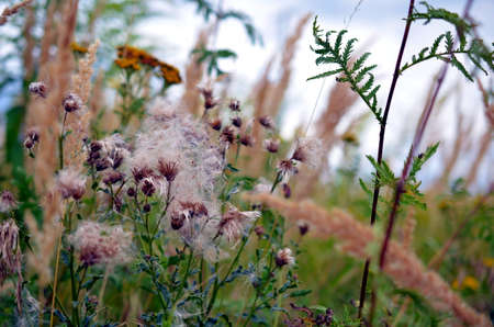 cotton bud: wildflowers and faded thistles on a meadow in summer