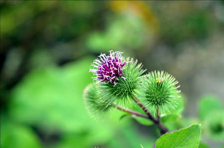 burdock: pink milk thistle flower in bloom in summer Stock Photo