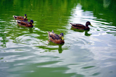 palmiped: group of wild ducks mallards swimming in lake