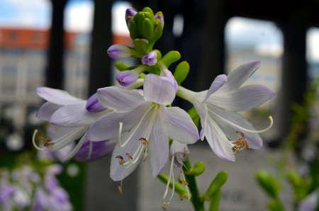 closeup shot of white amaryllis flower blossom