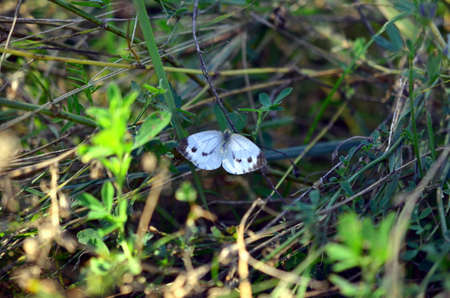 spreaded: white butterfly with open wings in green landscape from above