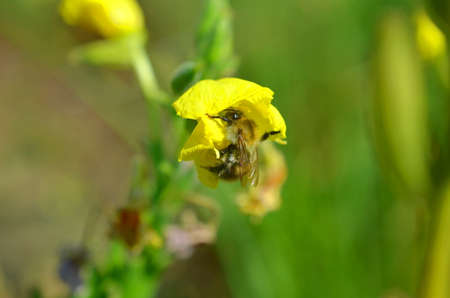 small bee pollinating yellow weed summer plant Stock Photo
