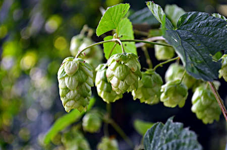 wild hop cones hanging in late summer sun Stock Photo