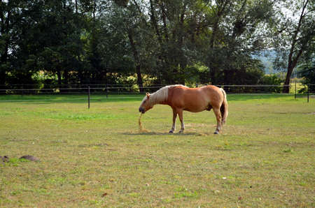haflinger horse grazing on the green meadow