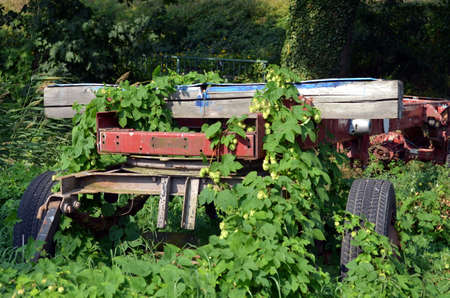 common hop: garden vehicle in nature grown with hop plants Stock Photo