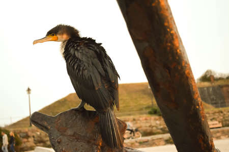 closeup of cormorant sitting on anchor in evening light