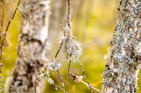 white lichen grown on autumnal forest trees Stock Photo