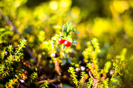 mountain cranberry: red cranberrys growing in autumnal forest landscape