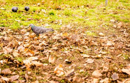 grey wild pigeon walking through autumnal leaves
