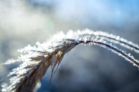 covered fields: frozen wheat grown with ice crystals in wintersun