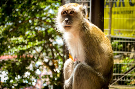 Macaque monkey in sunlight, malaysia Stock Photo