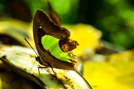 swallowtails: green and brown swallowtails butterfly with broken wings
