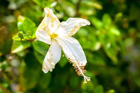 exerted: hibiscus rosa sinensis white flower blossom