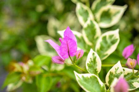 macroshot: pink bougainville tropical flower blossom detailed macroshot