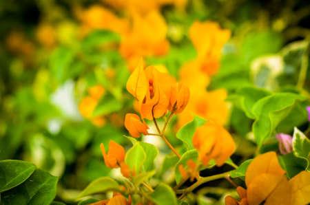 macroshot: orange bougainville tropical flower blossom detailed macroshot