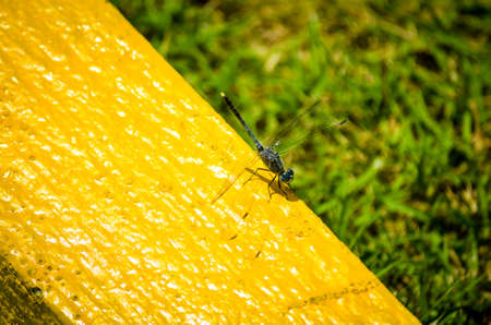 blue dragonfly sitting on yellow background Stock Photo