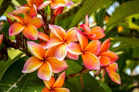 orange and white tropical frangipani plumeria flower blossom
