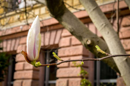 flowerhead: pink and white magnolia flower blossom in spring Stock Photo