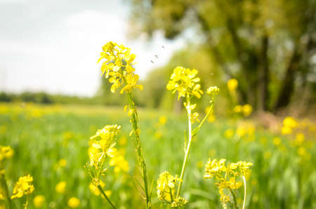 golden rape flower blossom on the field Stock Photo