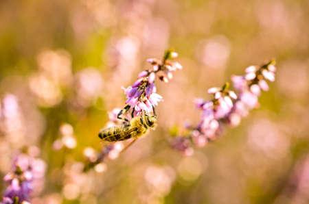 bumblebee pollinating wild flowers in summer Stock Photo