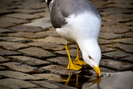 Seagull drinking out of puddle with reflection