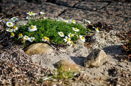 bunch of wild daisies growing between hard rocks