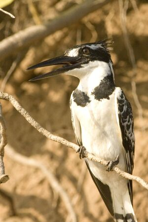 pied: Pied Kingfisher on branch Stock Photo