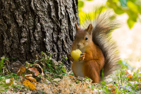 The photo shows a squirrel with a nut. Фото со стока