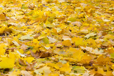 gold road: The photo shows autumn road backfilled yellow foliage Stock Photo