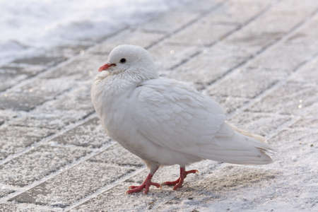 depicts: The photo depicts a white dove on the road