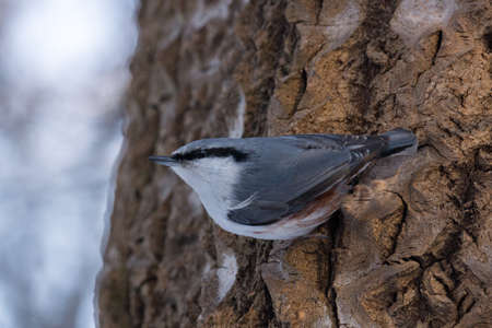 depicts: The photo depicts a nuthatch on tree