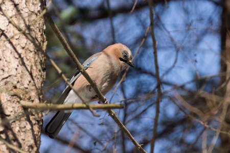 jay: The photograph depicts jay on a branch