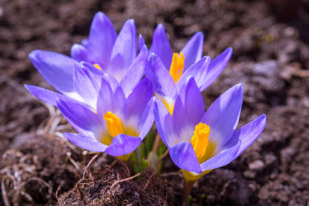 The photo shows the purple flowering crocus Stock Photo