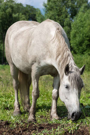 gelding: The photo shows a horse in the meadow